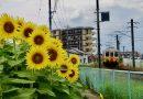 화창한 날의 해바라기 꽃밭 – 붓쇼잔 농장