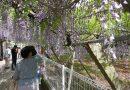 등꽃 밑에서 로맨틱한 봄날을