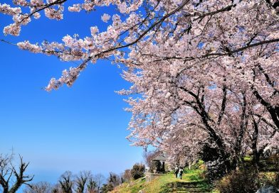 2017 Kagawa Cherry Blossom Information