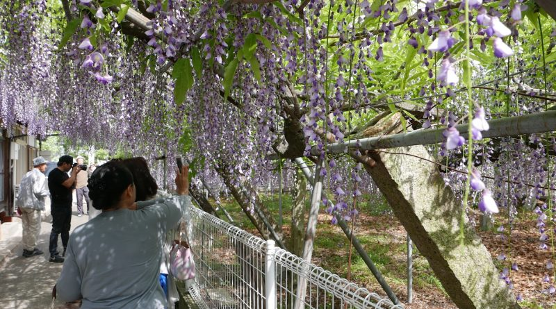 A Romantic Spring Day Experience Under the Wisteria Flowers