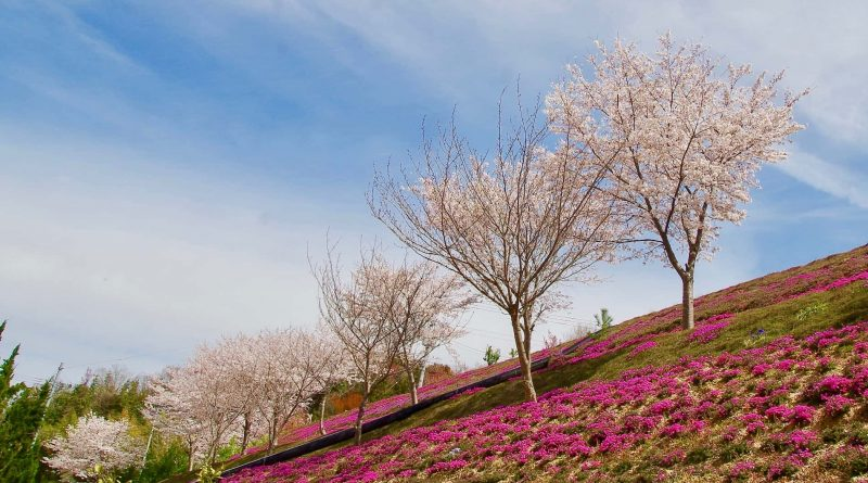 Next to the Sakura season – The blooming Shibazakura