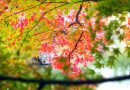 Kagawa's Autumn Leaves Information 2019