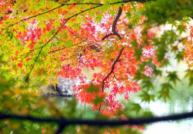 Kagawa's Autumn Leaves Information 2019