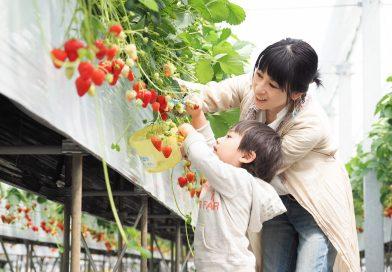 在草莓王国享受摘草莓的乐趣