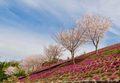 遍地盛开的芝樱 紧随着樱花季的脚步