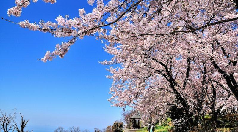 桜花の紫雲出山_resize