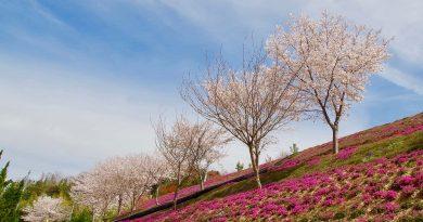 遍地盛開的芝櫻 接續櫻花季腳步