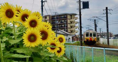 艷陽天的向日葵花田 佛生山農場