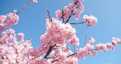 跟隨香川當地人的腳步賞櫻